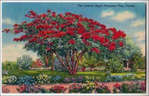 Royal Poinciana Tree, Florida