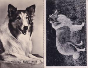 A Conscious Beauty Faithful & True 2x Rough Collie Real Photo Postcard s