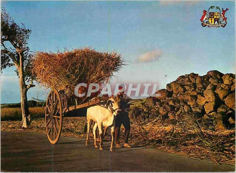 Modern Postcard Mauritius Transport of sugar canes