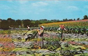 Pennsylvania Lancaster Amish Homestead Amish Family Cutting Tobacco