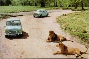 The Lions of Longleat Zoo Park Warminster England Blue Auto Unused Postcard C3