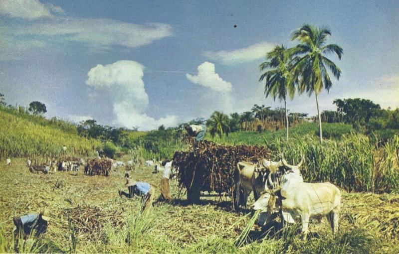 Reaping Sugar Cane Jamaica Unused Postcard D15