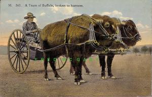 1912 Cheyenne Wyoming PC: Team of Buffaloes Broken to Harness, Frontier Day!