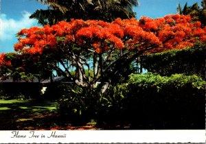 Hawaii Beautiful Royal Poinciana In Full Bloom The Flame Tree