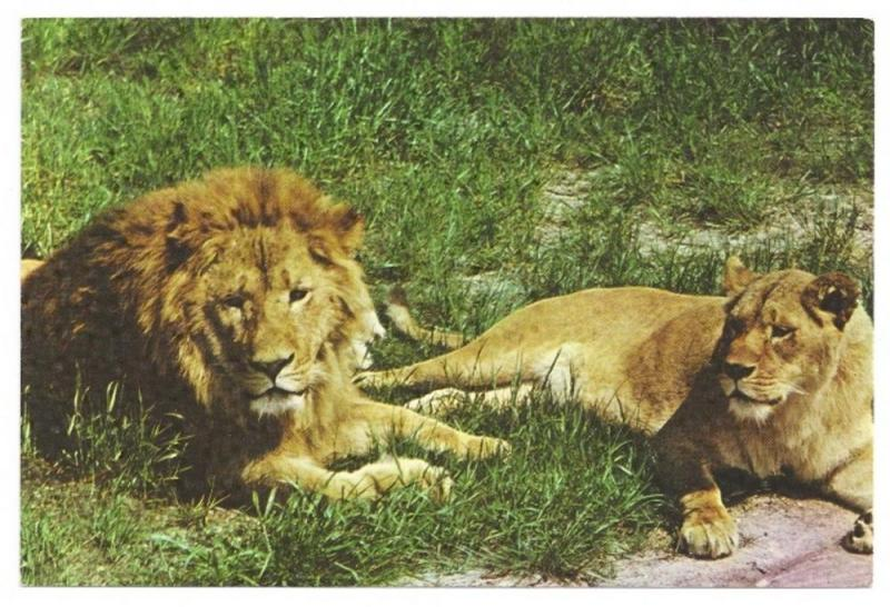Amusement Park Lions Great Adventure Wild Safari Jackson NJ