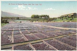 SAN JOSE, California, 1900-10s; 20 Acres of Drying Prunes