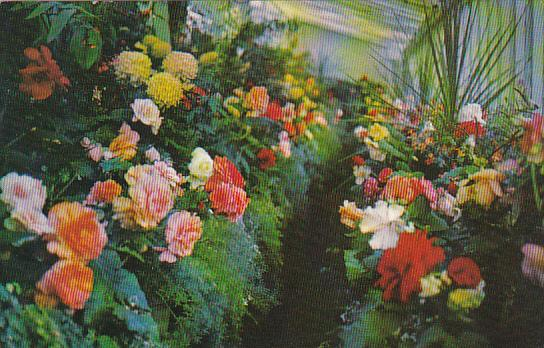 Canada British Columbia Victoria The Begonia House The Butchart Gardens 1970