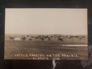 Mint Canada RPPC Real Picture Postcard Cattle Grazing Alberta