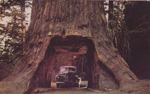 Chandelier Drive-Thru Tree,  California,  40-60s