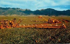 Hawaii Oahu PIneapple Harvesting Modern Machinery and Skillfull Pickers