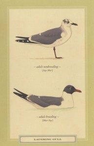 Laughing Gull Bird Breeding Stunning Postcard