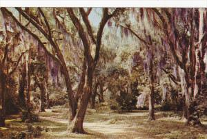 Moss Draped Live Oak Trees