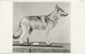 RP: KEEWATIN , Ontario , Canada , 1930s ; Barren Groung Wolf , Museum
