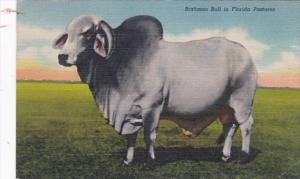 Brahman Bull In Florida 1952 Curteich