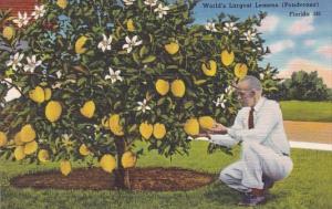 Lemon Tree World's Largest Lemons Florida