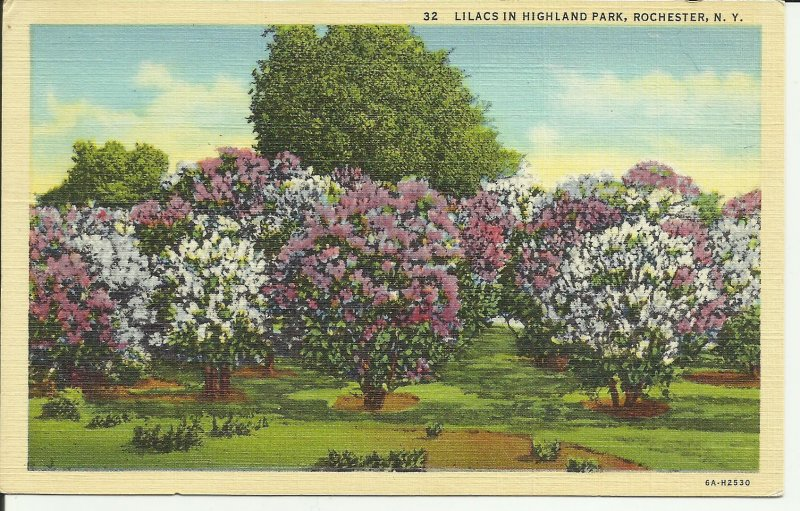 Lilacs In Highland Park, Rochester, N.Y.