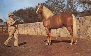 Man Training(?) Palamino Horse~1950s Postcard