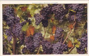 Michigan Grapes From A Michigan Vineyard