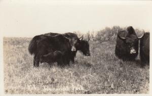 RP; Yaks in Wainwright Park, Alberta, Canada, 10-20s