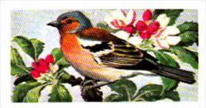 Brooke Bond Tea Trade Card Wild Birds In Britain No 8 Chaffinch