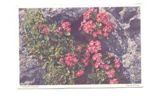 Viscous Primula #614 Swiss Flower Series,