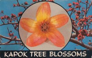 Kapok Tree Blossom Clearwater Florida