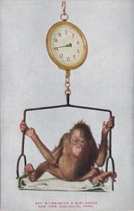 New York Zoological Park Weighing A Baby Orangutan