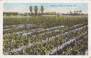 Growing Celery In Florida, 1910-1920s