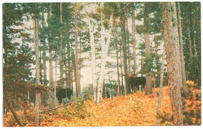 Canada, Bull and Cow Moose, in Algonquin Provincial Park, Ontario, 1963 used