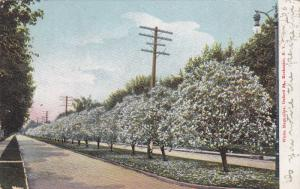 White Magnolias, Oxford Street, Rochester, New York, 1900-1910s