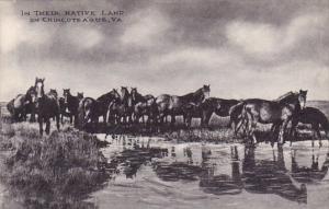Virginia Chincoteague In Their Native Land On Chincoteague