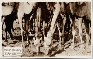 Camels Drinking Water Buchanan Sahara Expedition Africa Unused RPPC Postcard E73