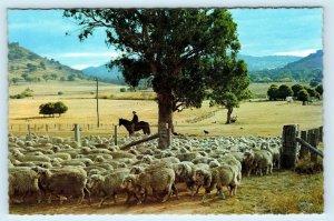 AUSTRALIA ~ SHEEP Grazing Scene Man on HORSE Eucalyptus Tree c1960s  Postcard