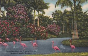 Florida Sarasota Flamingos At Sarasota Jungle Gardens 1957 Curteich