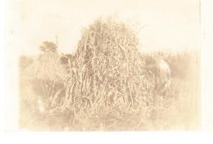 Large Pile of Corn Stalks - Real Photo