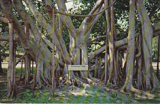 Banyan Tree In Florida