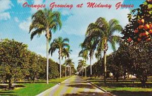 Florida Sarasota Oranges Growing At Midway Groves 1976