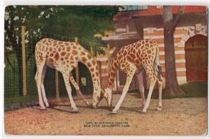 Giraffe, NY Zoological Park NY