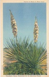 Yuccas Cactus in Bloom - Liliaceous Flower - West Texas - Linen