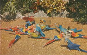 Chow time at the Parrot Jungle  Nice American PC 1960s