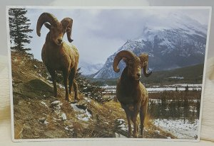 Bighorn Sheep Vintage Postcard