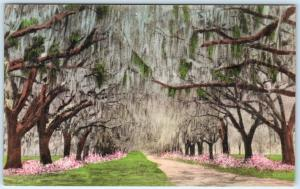 CHARLESTON, South Carolina  SC   Handcolored  AVENUE OF OAKS  Albertype Postcard