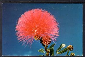 Lehua Blossom From the Ohia Tree