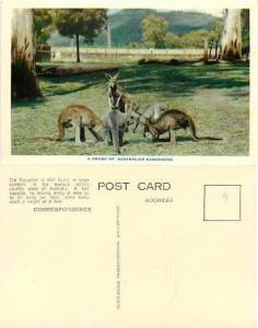A Group of Australian Kangaroos, Nucolorvue Chrome