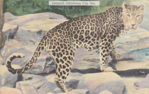 OKLAHOMA CITY , Oklahoma, 30-40s; Leopard at Oklahoma City Zoo