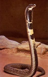 Snake - Cobra, Ringhals Spitting Variety