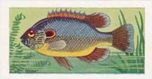 Amalgamated Tobacco Vintage Cigarette Card 1961 No 22 Long-Eared Sunfish