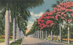 FLORIDA , 30-40s ; Royal Poinciana Tree Amidst Majestic Royal Palms