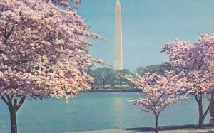 Washington D C The Washington Monument and Cherry Blossoms