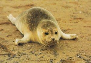 Blakeney Point Seal Pup Norfolk Postcard